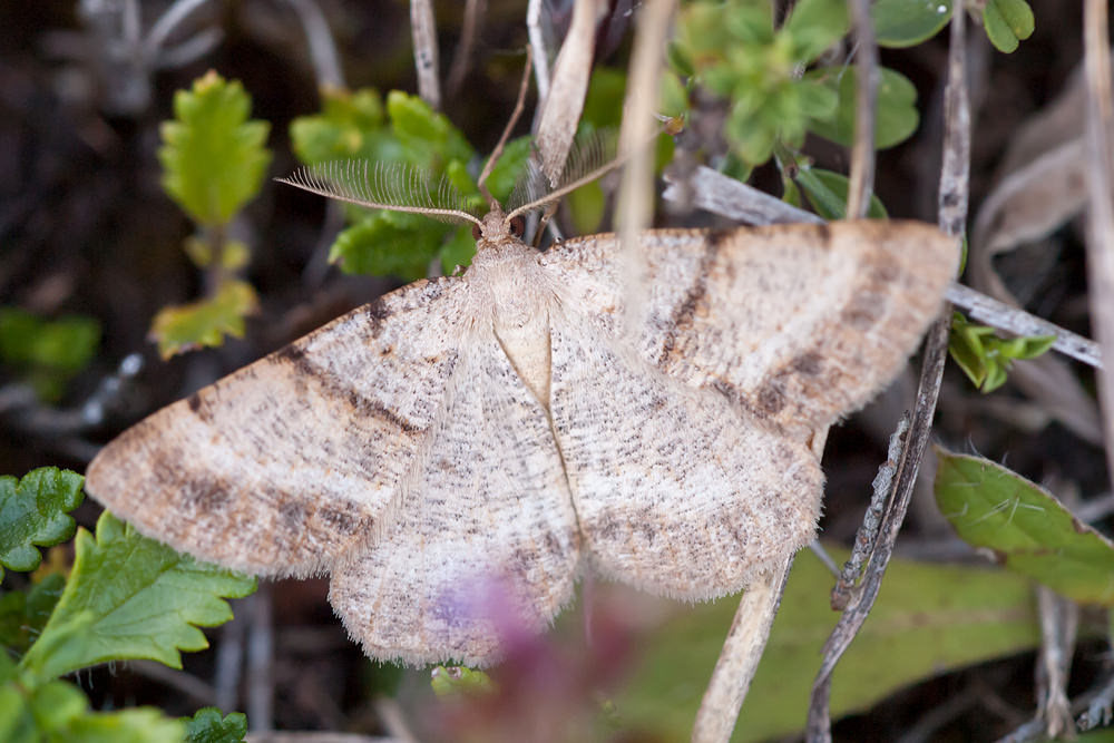 Selidosema brunnearia (Geometridae)  - Boarmie brune - Bordered Grey. vendredi 17 août 2012, alt.=327m - Meuse [France].
