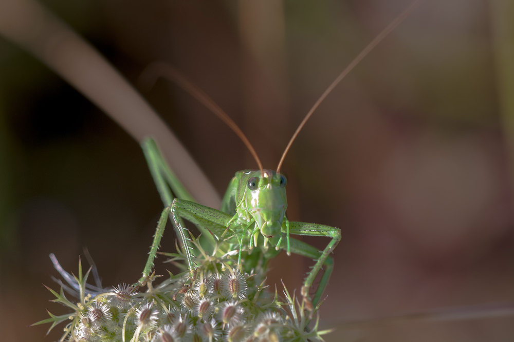 Tettigonia viridissima Grande Sauterelle verte Great Green Bush Cricket