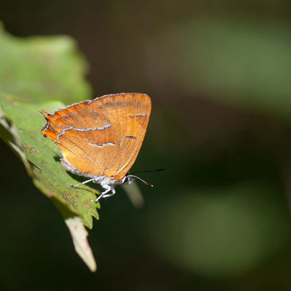 Thecla betulae Thécla du Bouleau Brown Hairstreak
