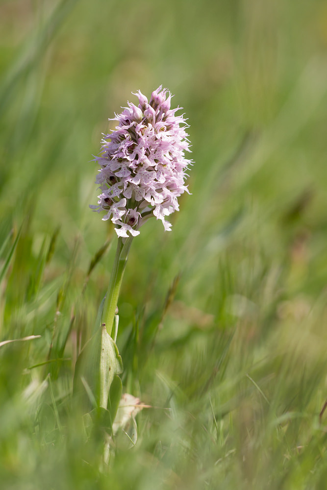 Neotinea conica Orchis conique