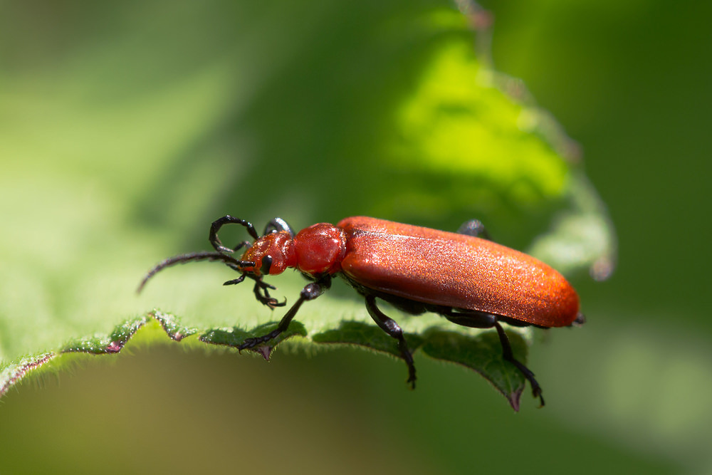 Pyrochroa serraticornis (Pyrochroidae)  - Cardinal rouge - Common Cardinal Beetle Nord [France] 02/06/2013 - 36m