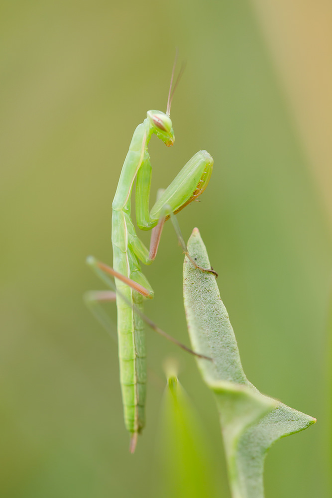 Mantis religiosa (Mantidae)  - Mante religieuse - Praying Mantis  - vendredi 26 juillet 2013 - alt.=264m - Meuse [France]
