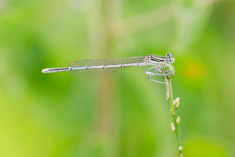 Platycnemis pennipes (Platycnemididae)  - Agrion à larges pattes - White-legged Damselfly. vendredi 26 juillet 2013, alt.=327m - Meuse [France].