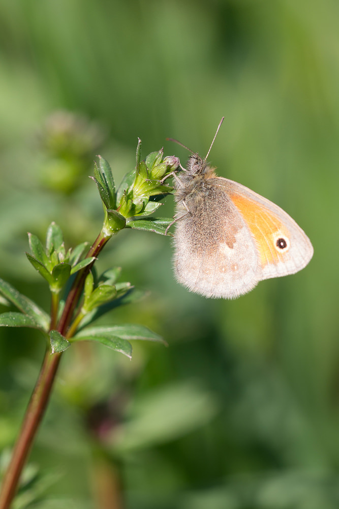 Coenonympha pamphilus (Nymphalidae)  - Fadet commun, Procris - Small Heath. dimanche 20 avril 2014, alt.=171m - Marne [France].