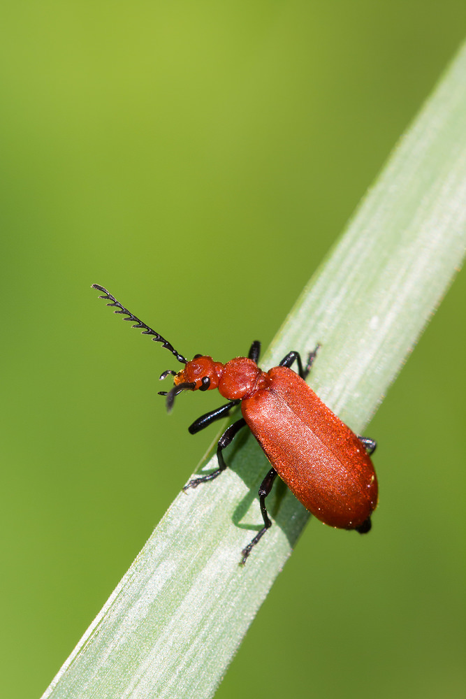 Pyrochroa serraticornis (Pyrochroidae)  - Cardinal rouge - Common Cardinal Beetle Marne [France] 20/04/2014 - 162m
