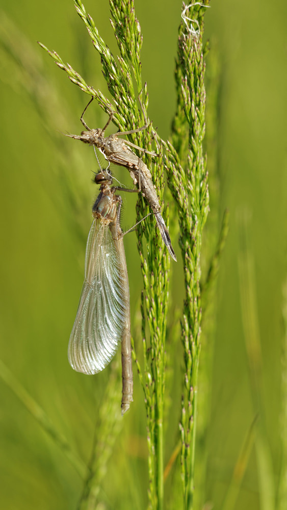 Calopteryx virgo (Calopterygidae)  - Caloptéryx vierge - Beautiful Damselfly Allier [France] 08/06/2014 - 202m