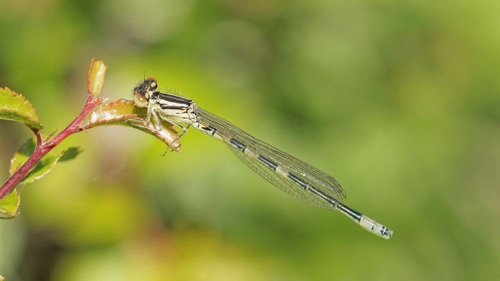 Coenagrion scitulum (Coenagrionidae)  - Agrion mignon - Dainty Damselfly. jeudi 05 juin 2014, alt.=812m - Aveyron [France].
