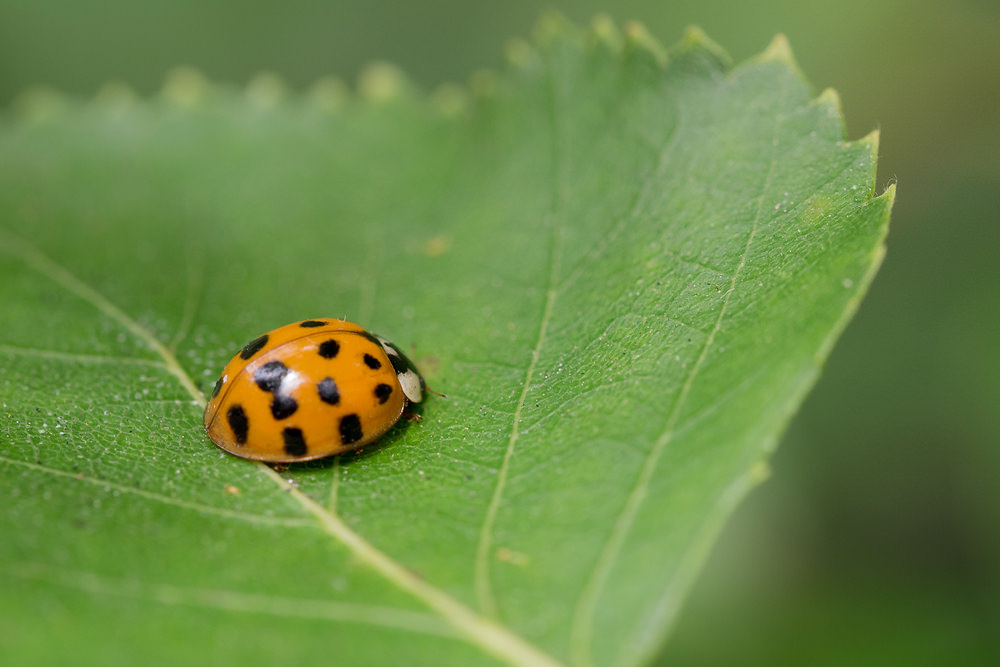 Harmonia axyridis (Coccinellidae)  - Coccinelle asiatique - Harlequin ladybird Nord [France] 25/06/2014 - 22m
