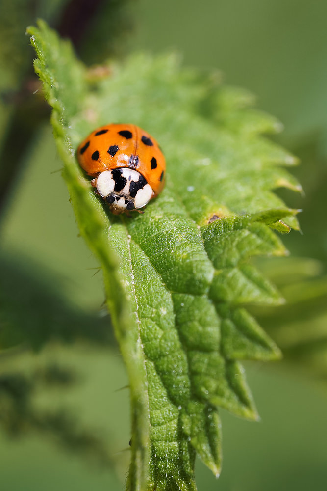 Harmonia axyridis (Coccinellidae)  - Coccinelle asiatique - Harlequin ladybird Nord [France] 28/06/2014 - 22m