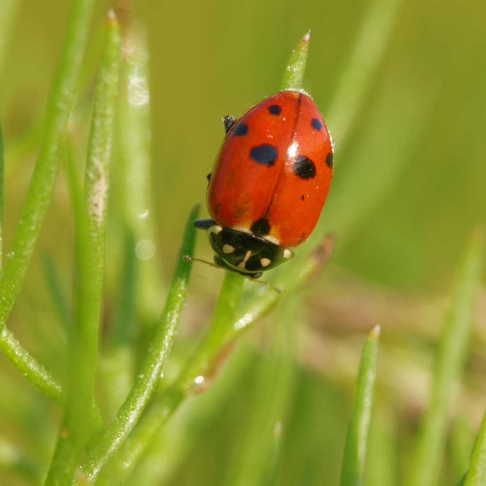 Hippodamia variegata (Coccinellidae)  - Coccinelle des friches - Adonis' Ladybird Allier [France] 08/06/2014 - 202m