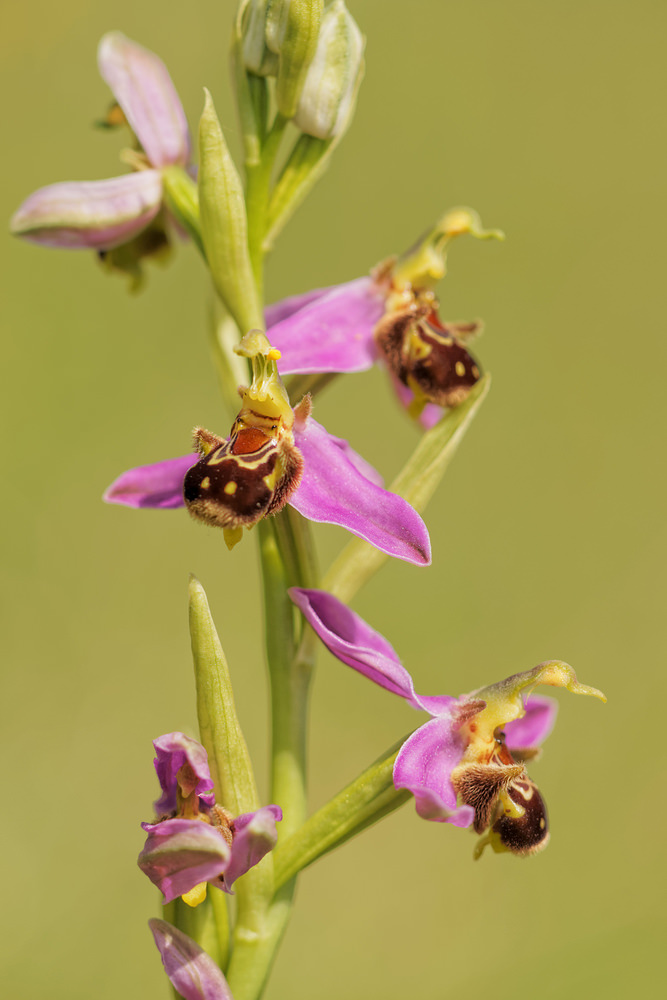 Ophrys apifera (Orchidaceae)  - Ophrys abeille - Bee Orchid. lundi 02 juin 2014, alt.=407m - Aveyron [France].