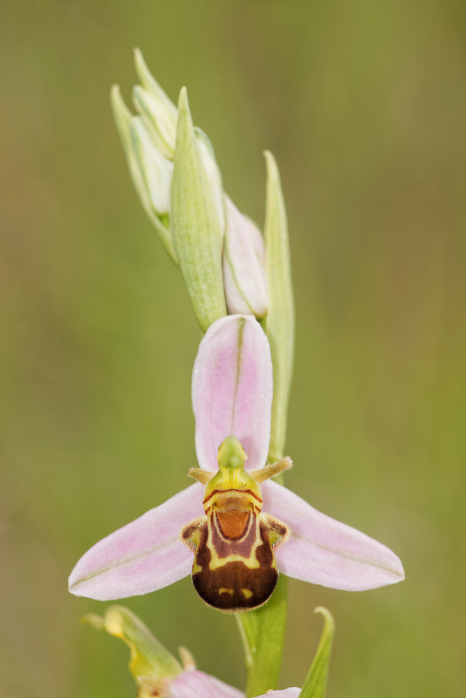 Ophrys apifera (Orchidaceae)  - Ophrys abeille - Bee Orchid. lundi 02 juin 2014, alt.=613m - Aveyron [France].