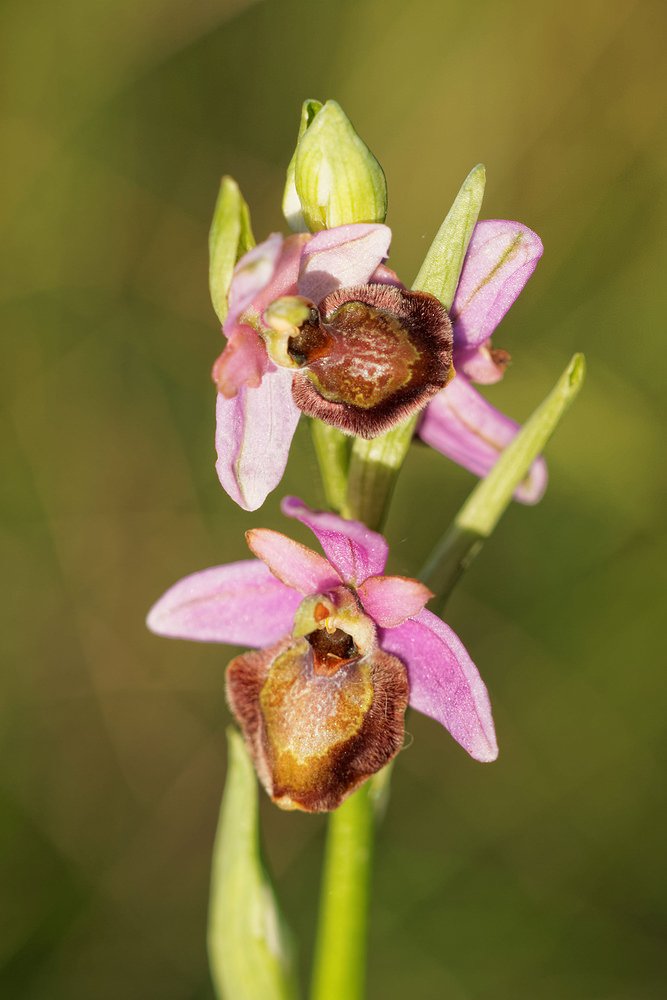 Ophrys aveyronensis Ophrys de l'Aveyron