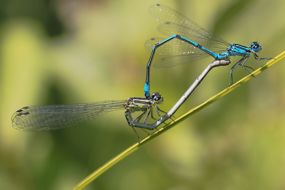 Coenagrion puella Agrion jouvencelle Azure Damselfly