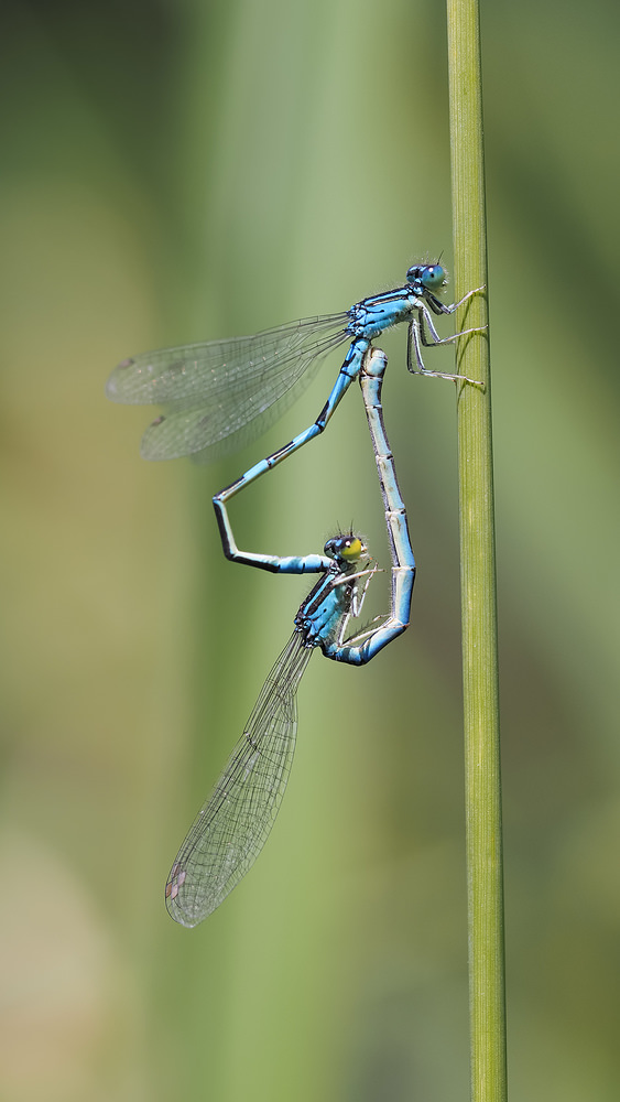 Coenagrion scitulum (Coenagrionidae)  - Agrion mignon - Dainty Damselfly. mardi 01 juillet 2014, alt.=20m - Nord [France].