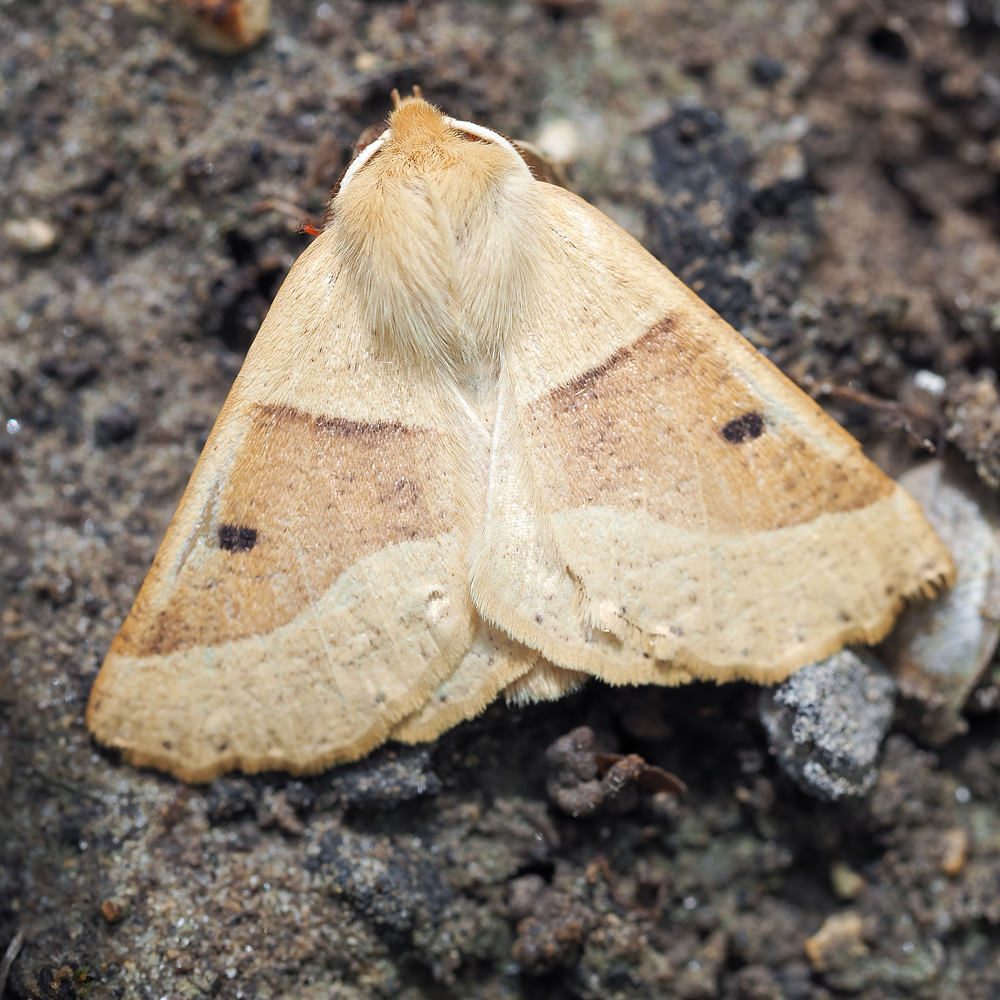 Crocallis elinguaria (Geometridae)  - Phalène de la Mancienne, Crocalle commune - Scalloped Oak. samedi 19 juillet 2014, alt.=92m - Marne [France].