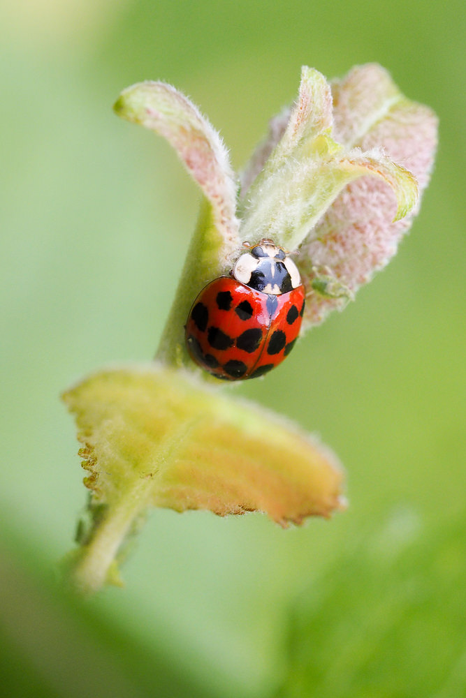 Harmonia axyridis (Coccinellidae)  - Coccinelle asiatique - Harlequin ladybird Nord [France] 01/07/2014 - 22m
