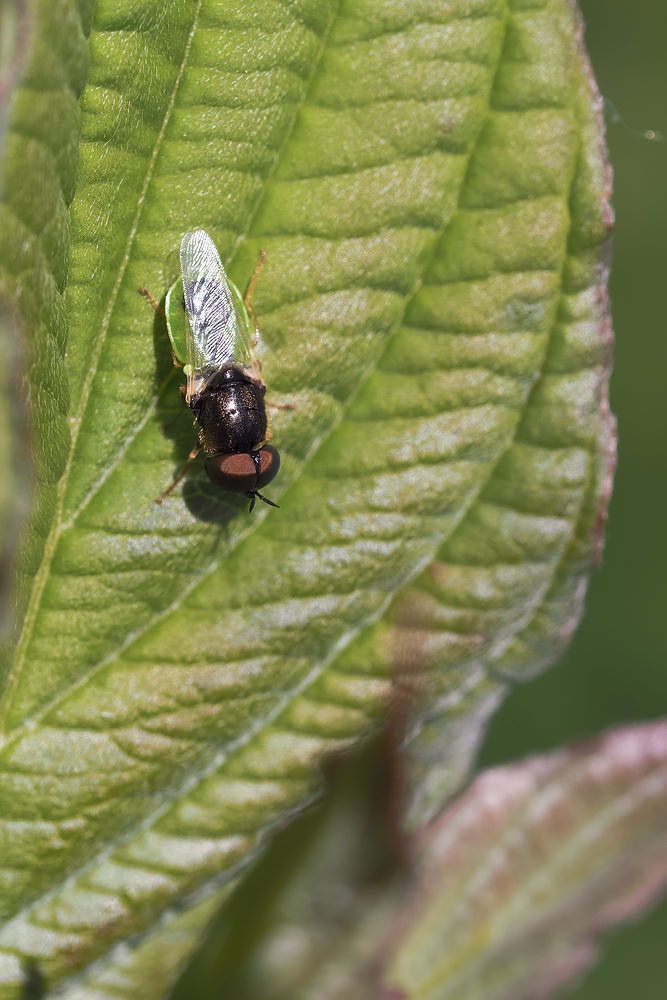 Oplodontha viridula (Stratiomyidae)  - common green colonel Nord [France] 01/07/2014 - 22m