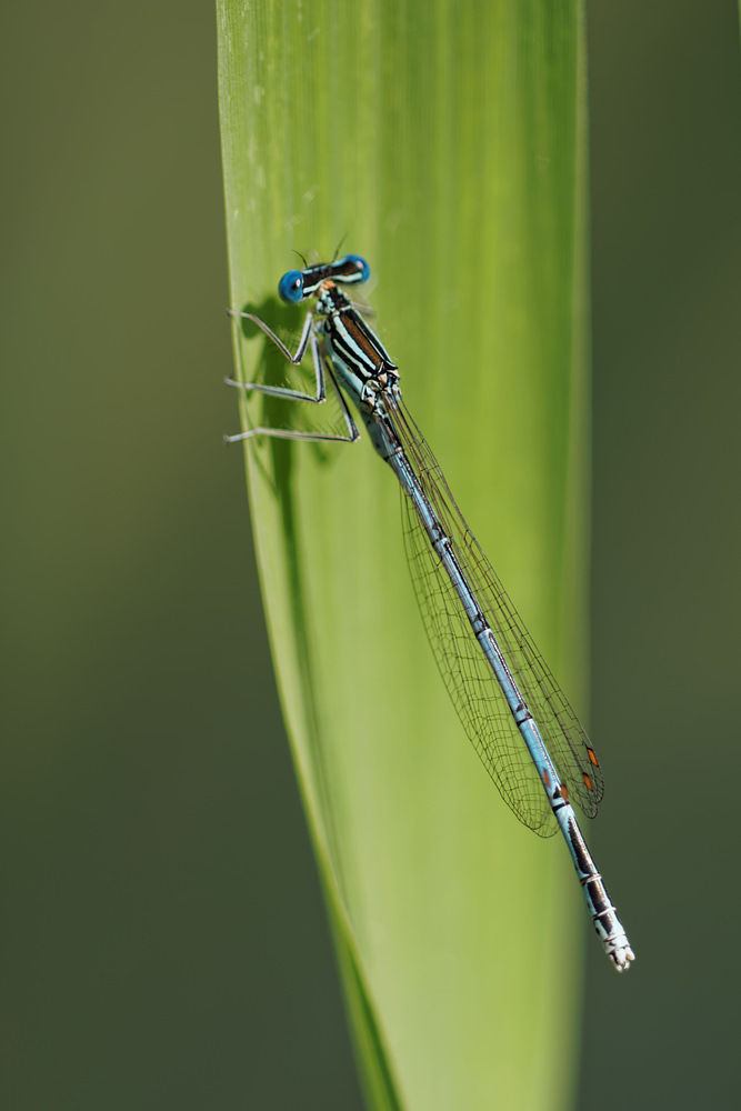 Platycnemis pennipes (Platycnemididae)  - Agrion à larges pattes - White-legged Damselfly. samedi 16 août 2014, alt.=186m - Marne [France].