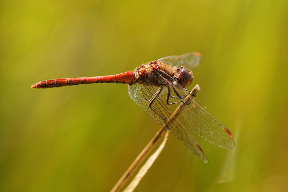 Sympetrum striolatum (Libellulidae)  - Sympétrum strié - Common Darter. mardi 16 septembre 2014, alt.=20m - Nord [France].