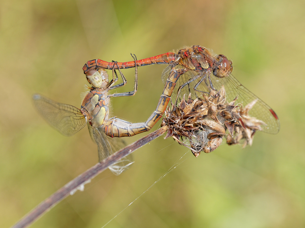 Sympetrum striolatum (Libellulidae)  - Sympétrum strié - Common Darter. mardi 09 septembre 2014, alt.=20m - Nord [France].