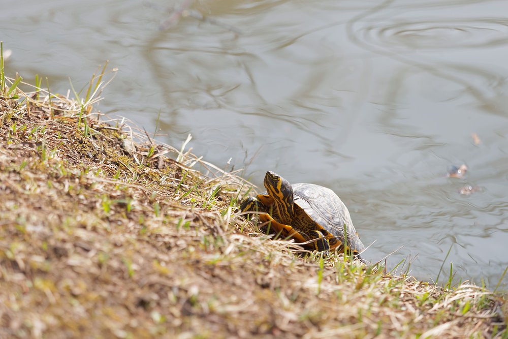 Trachemys scripta (Emydidae)  - Trachémyde écrite, tortue de Floride - Red-eared Terrapin. lundi 16 mars 2015, alt.=20m - Nord [France].