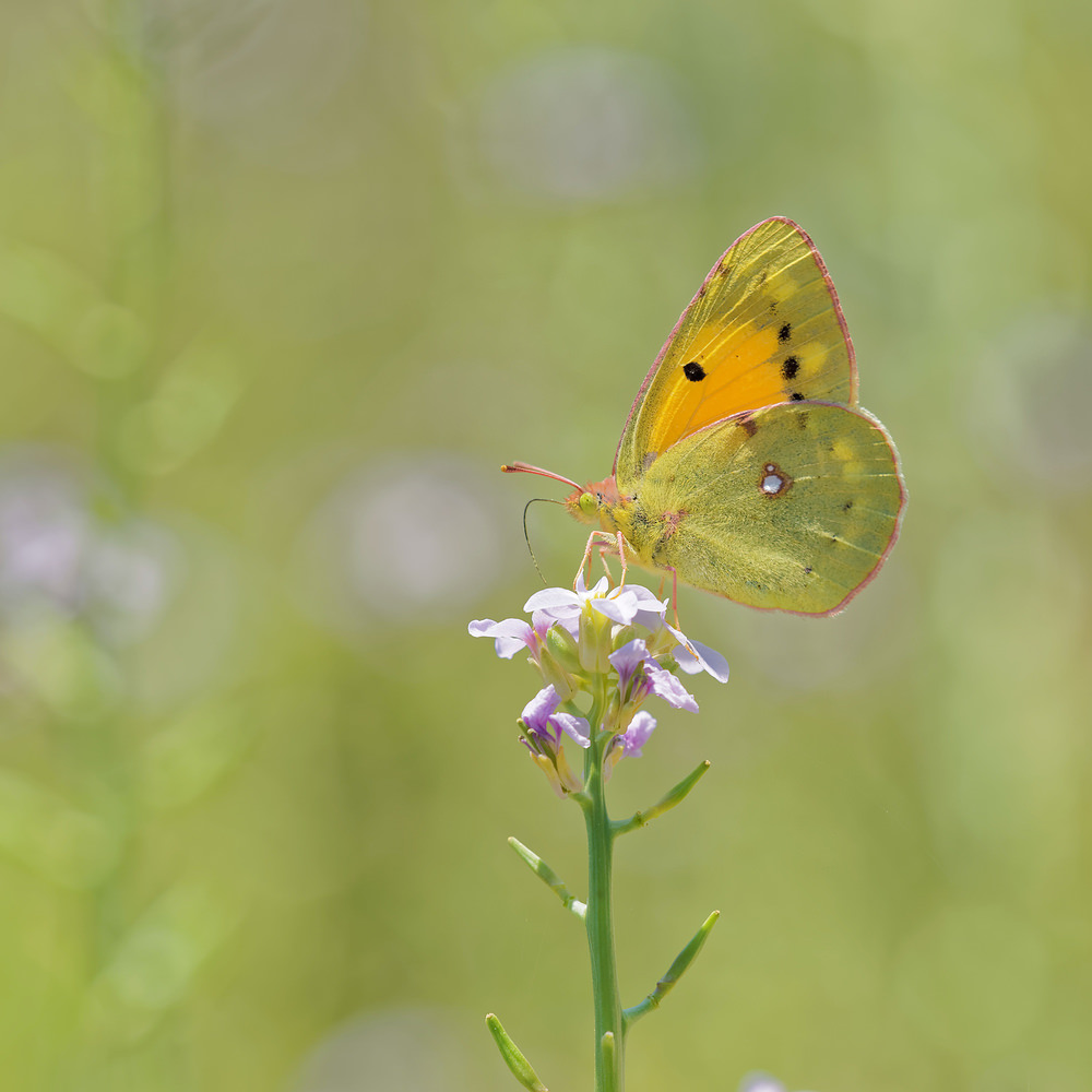 Colias crocea Souci Clouded Yellow