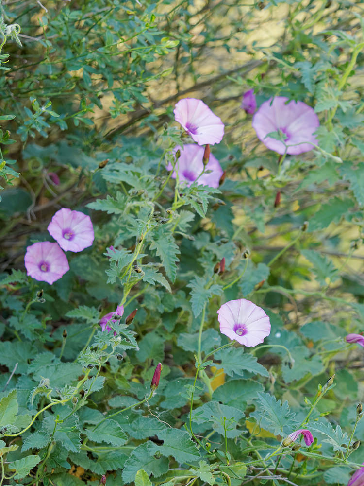 Convolvulus althaeoides Liseron fausse mauve Mallow-leaved Bindweed