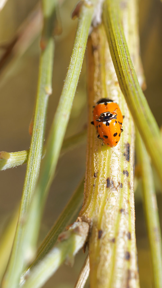Hippodamia variegata (Coccinellidae)  - Coccinelle des friches - Adonis' Ladybird Huelva [Espagne] 11/05/2015 - 6m