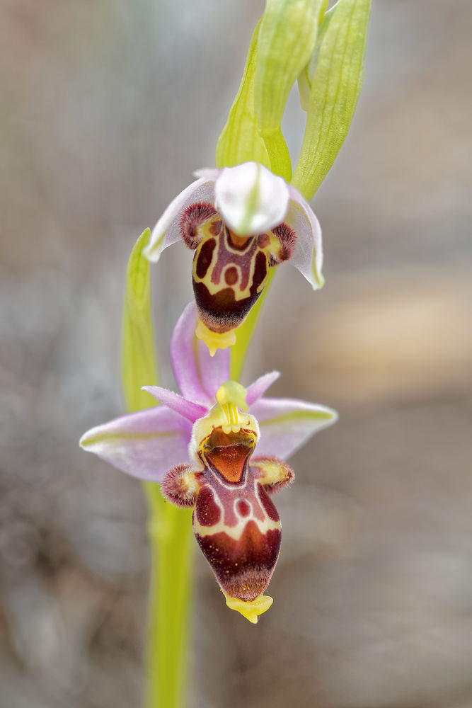 Ophrys scolopax subsp. apiformis (Orchidaceae)  - Ophrys peint, Ophrys picta. lundi 04 mai 2015, alt.=448m - VALENCIA [Espana].