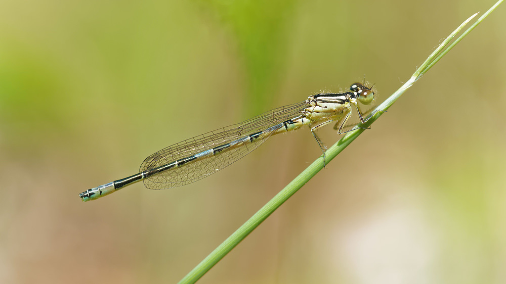 Coenagrion scitulum (Coenagrionidae)  - Agrion mignon - Dainty Damselfly. dimanche 07 juin 2015, alt.=50m - Nord [France].