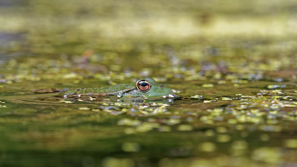 Pelophylax kl. esculentus (Ranidae)  - Grenouille commune - Edible Frog Lot [France] 27/06/2015 - 270m