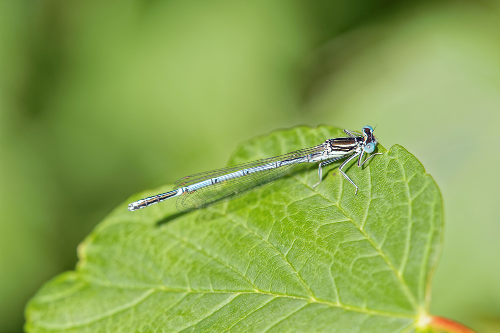 Platycnemis pennipes (Platycnemididae)  - Agrion à larges pattes - White-legged Damselfly. samedi 06 juin 2015, alt.=50m - Nord [France].