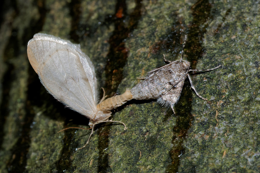 Operophtera fagata (Geometridae)  - Cheimatobie du Hêtre - Northern Winter Moth Nord [France] 14/11/2015 - 19m