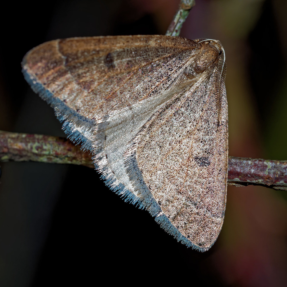Theria primaria Phalène précoce Early Moth