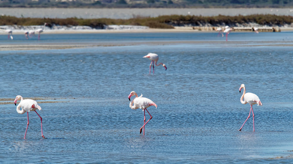 Phoenicopterus roseus Flamant rose Greater Flamingo
