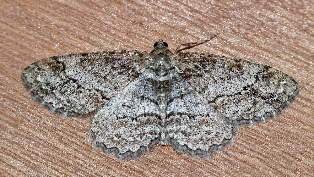 Ectropis crepuscularia (Geometridae)  - Boarmie crépusculaire - Small Engrailed. lundi 09 mai 2016, alt.=485m - Ardennes [France].