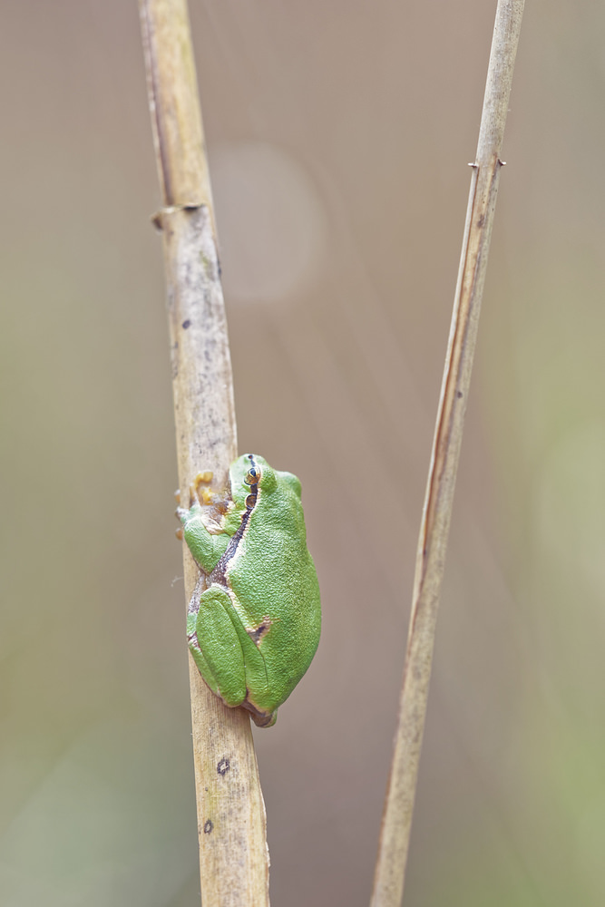 Hyla arborea (Hylidae)  - Rainette verte - Common Tree Frog Bas-Rhin [France] 22/05/2016 - 168m