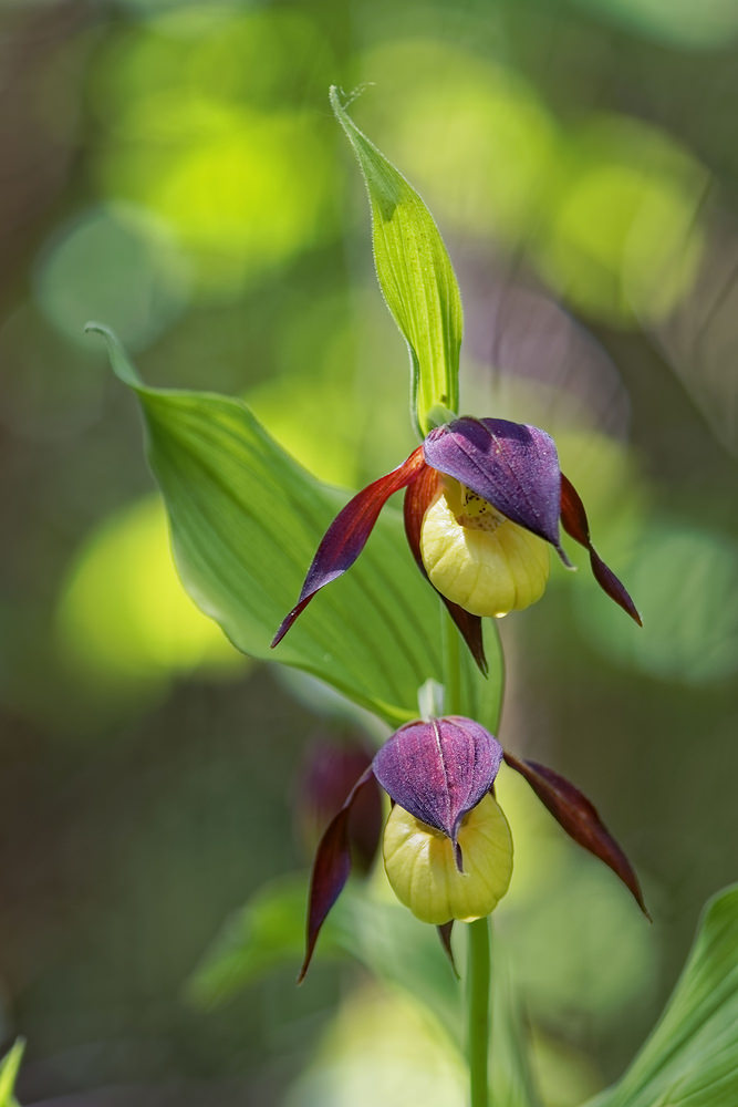 Cypripedium calceolus Sabot de Vénus Lady's-slipper