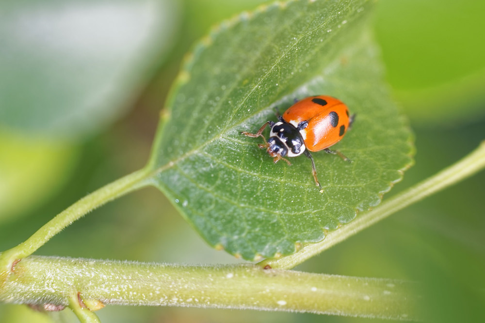 Hippodamia variegata (Coccinellidae)  - Coccinelle des friches - Adonis' Ladybird Hautes-Alpes [France] 02/06/2016 - 757m