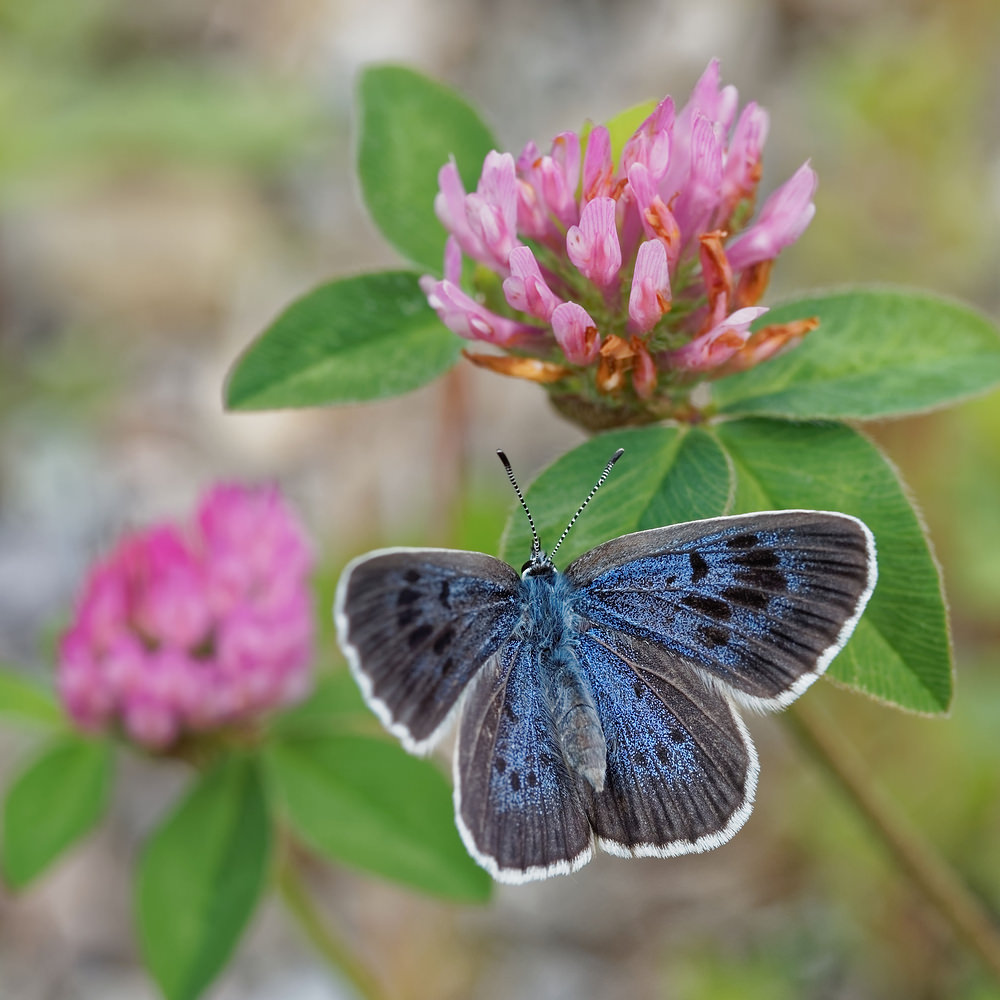 Phengaris arion (Lycaenidae)  - Azuré du Serpolet , Azuré d'Arion - Large Blue Hautes-Alpes [France] 02/06/2016 - 757m