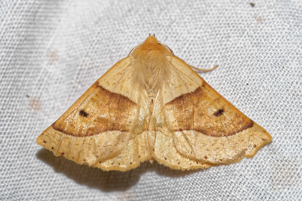 Crocallis elinguaria (Geometridae)  - Phalène de la Mancienne, Crocalle commune - Scalloped Oak. vendredi 15 juillet 2016, alt.=55m - Pas-de-Calais [France].