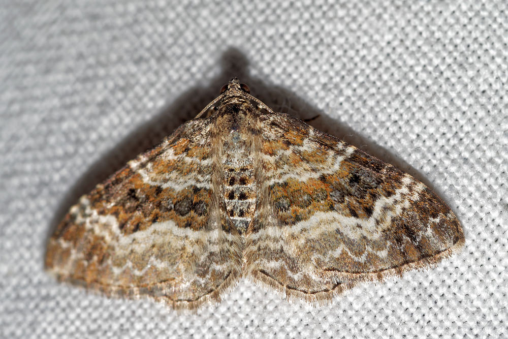 Epirrhoe alternata (Geometridae)  - Alternée - Common Carpet. vendredi 15 juillet 2016, alt.=55m - Pas-de-Calais [France].