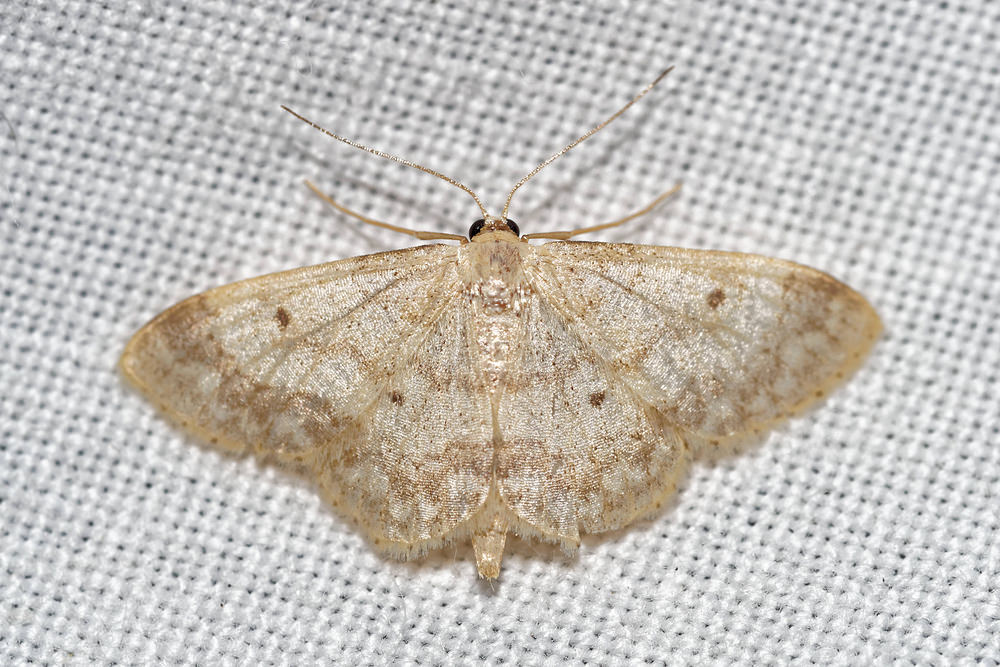 Idaea biselata (Geometridae)  - Truie - Small Fan-footed Wave. vendredi 15 juillet 2016, alt.=55m - Pas-de-Calais [France].