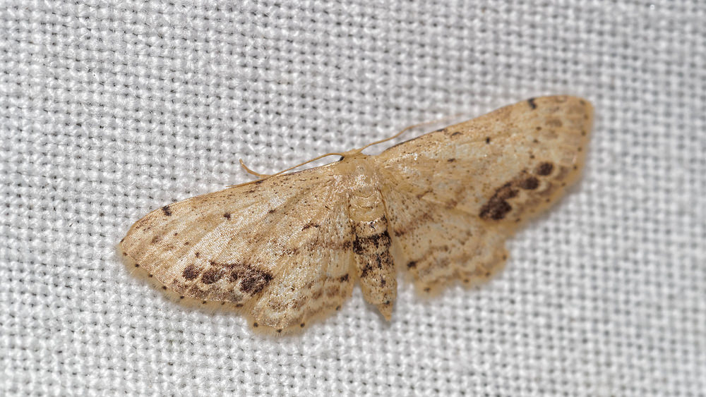 Idaea dimidiata (Geometridae)  - Acidalie écussonnée - Single-dotted Wave. vendredi 15 juillet 2016, alt.=55m - Pas-de-Calais [France].