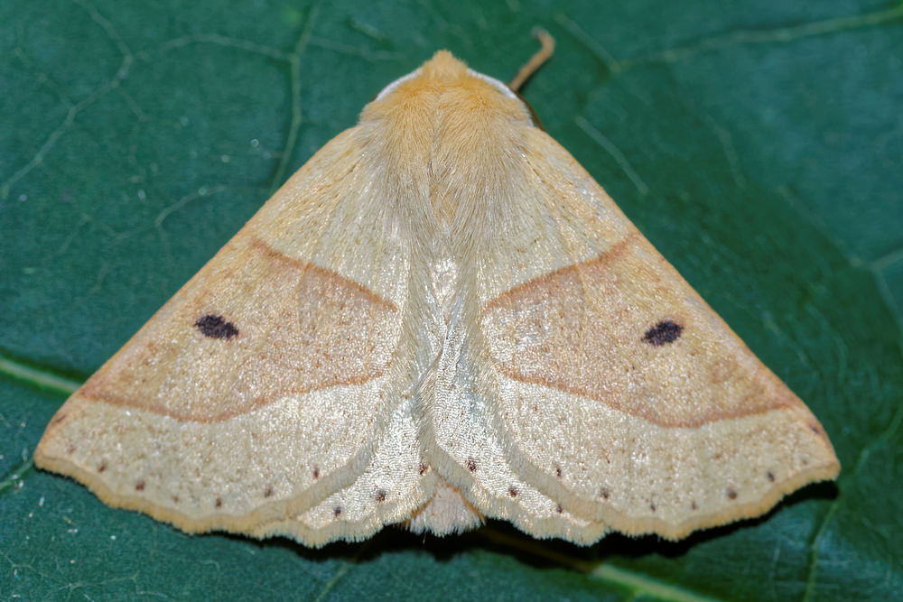 Crocallis elinguaria (Geometridae)  - Phalène de la Mancienne, Crocalle commune - Scalloped Oak. vendredi 05 août 2016, alt.=38m - Nord [France].