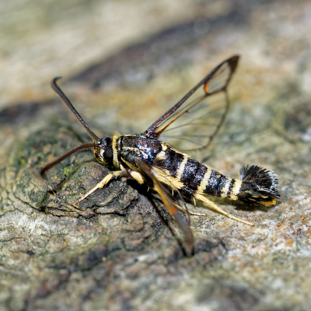 Synanthedon vespiformis Sésie vespiforme Yellow-legged Clearwing