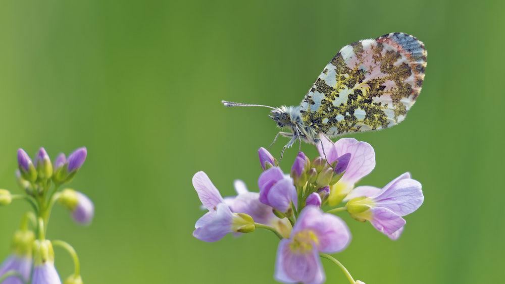 Anthocharis cardamines Aurore Orange-tip