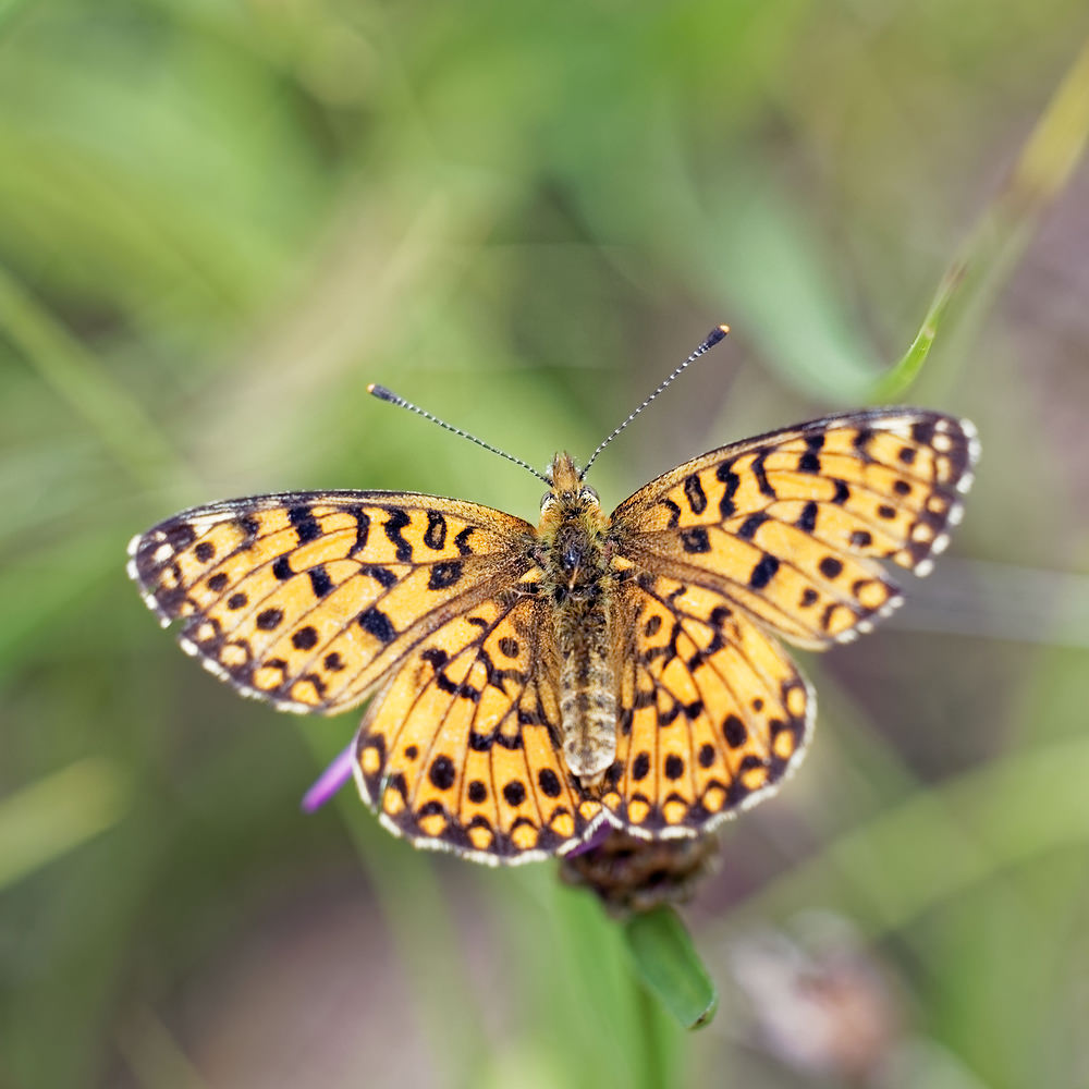 Boloria selene (Nymphalidae)  - Petit Collier argenté - Small Pearl-bordered Fritillary Doubs [France] 28/06/2017 - 750m