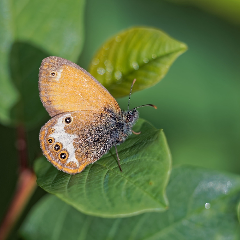 Coenonympha arcania Céphale Pearly Heath